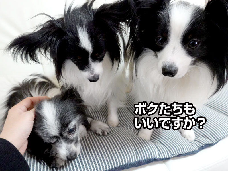 3パピヨンズ